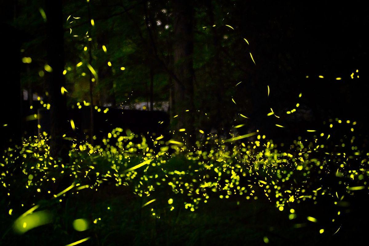 கிரேட் ஸ்மோக்கி மலைகள் மின்மினிப் பூச்சிகள் விரைவில் மிக அற்புதமான ஒளி காட்சியில் வைக்கப்படும்